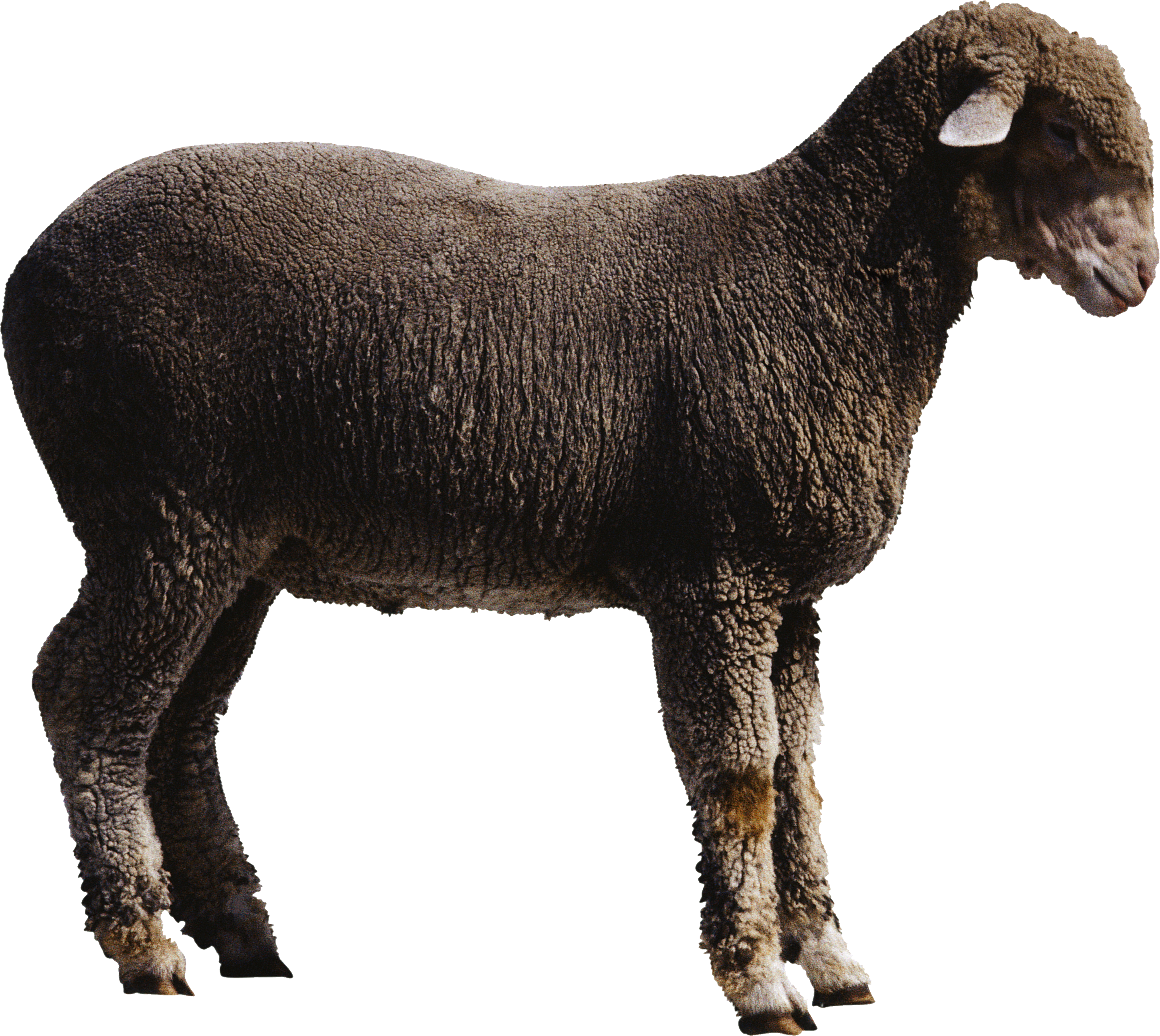 Best Clipart Sheep Png image #23163