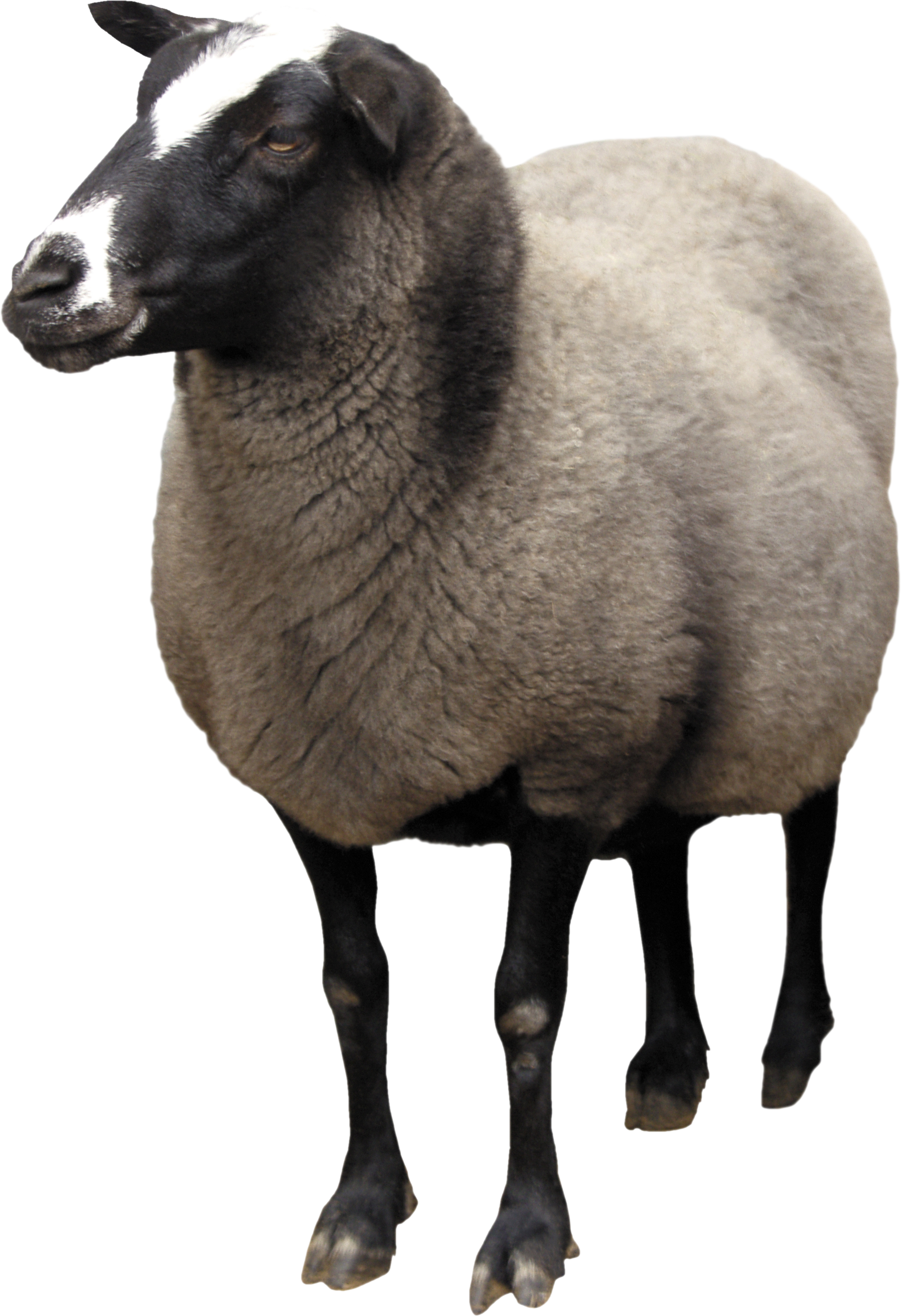 Sheep Png Download Vector Free image #23164