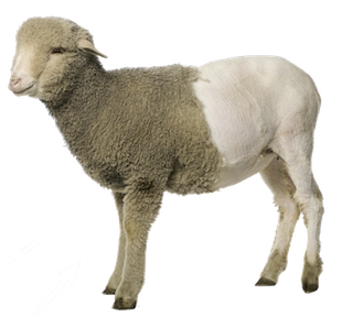 Free Download Of Sheep Icon Clipart image #23165