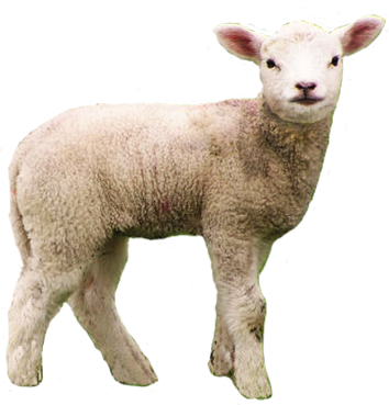 High Resolution Sheep Png Clipart image #23166