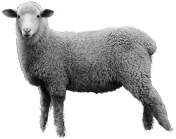 HD PNG Sheep image #23168