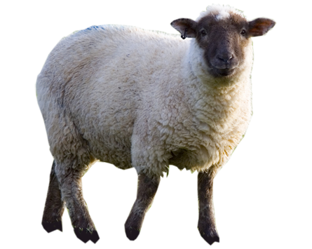 High-quality Sheep Cliparts For Free! image #23169