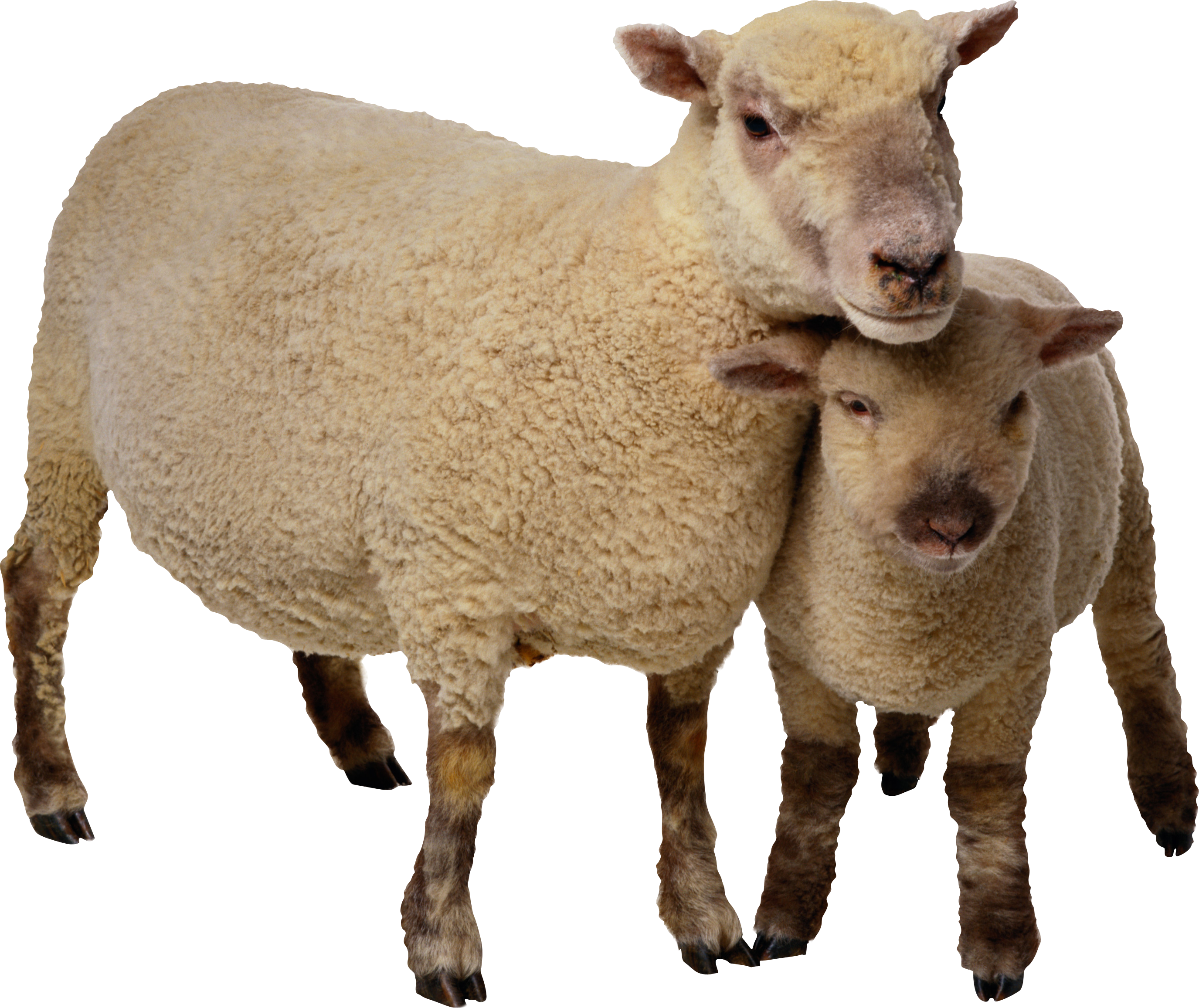 Pictures Clipart Sheep Free