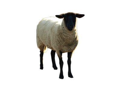 Sheep Transparent PNG image #23176