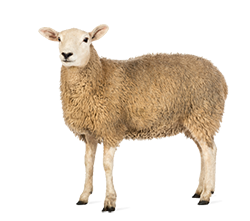 High Resolution Sheep Png Clipart image #23180