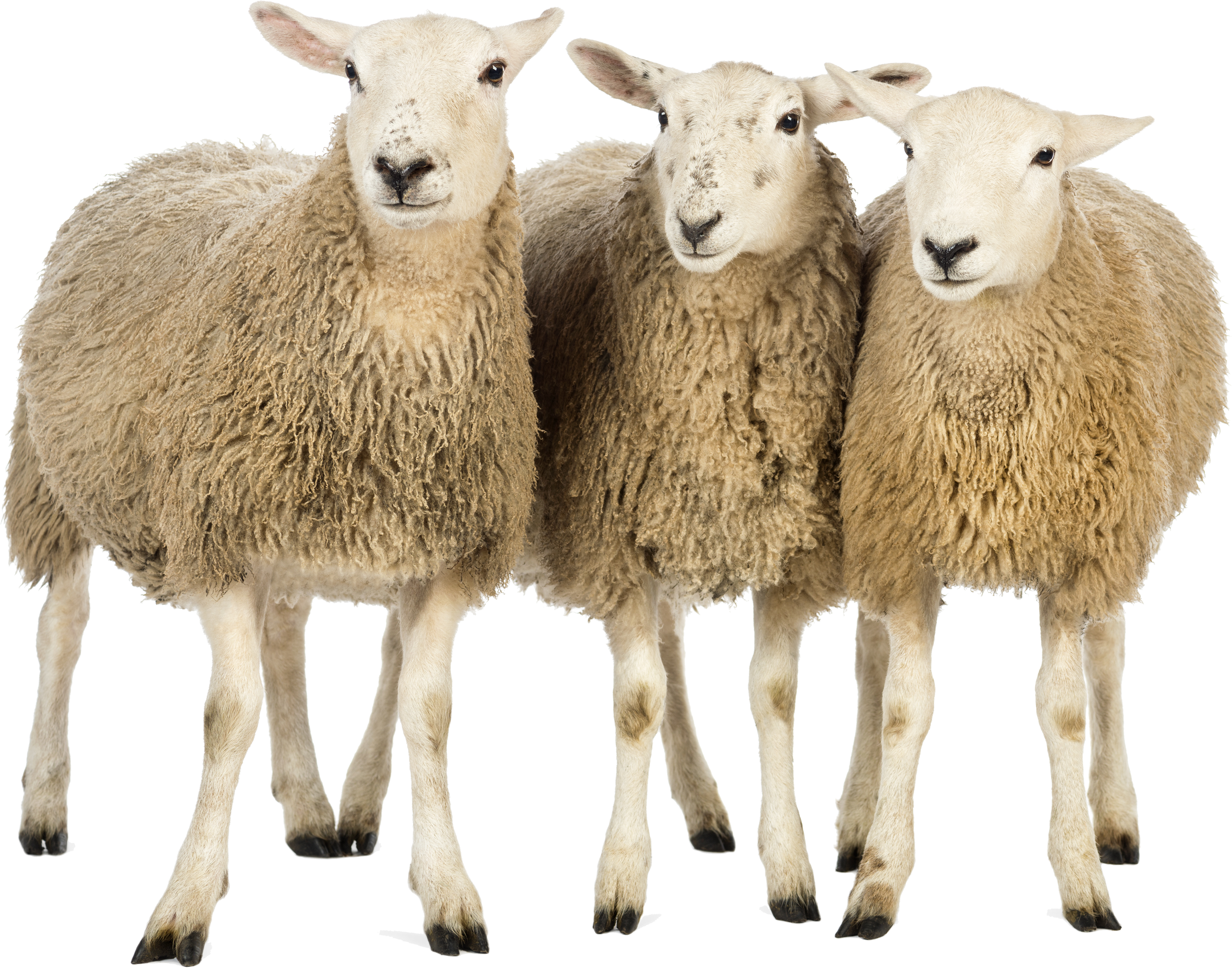Sheep  Free PNG Download image #23157