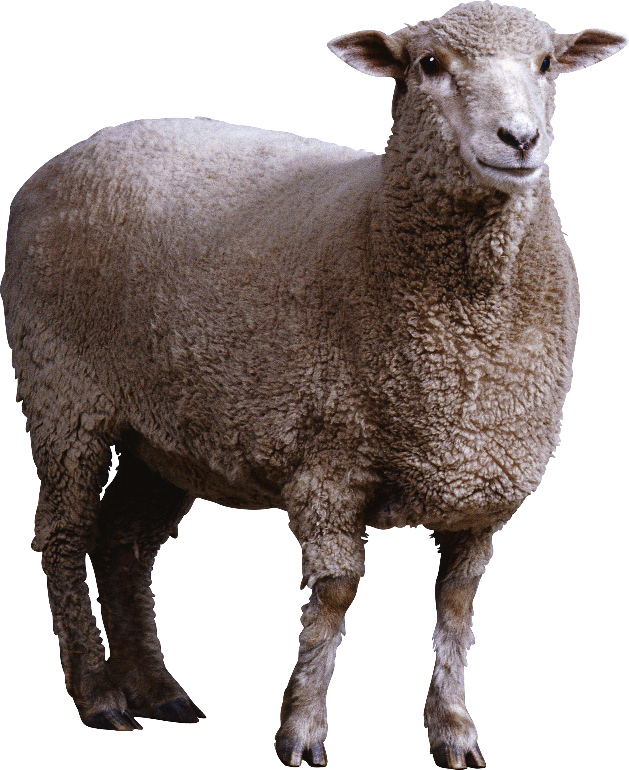 Sheep Collections Png Image Best image #23159