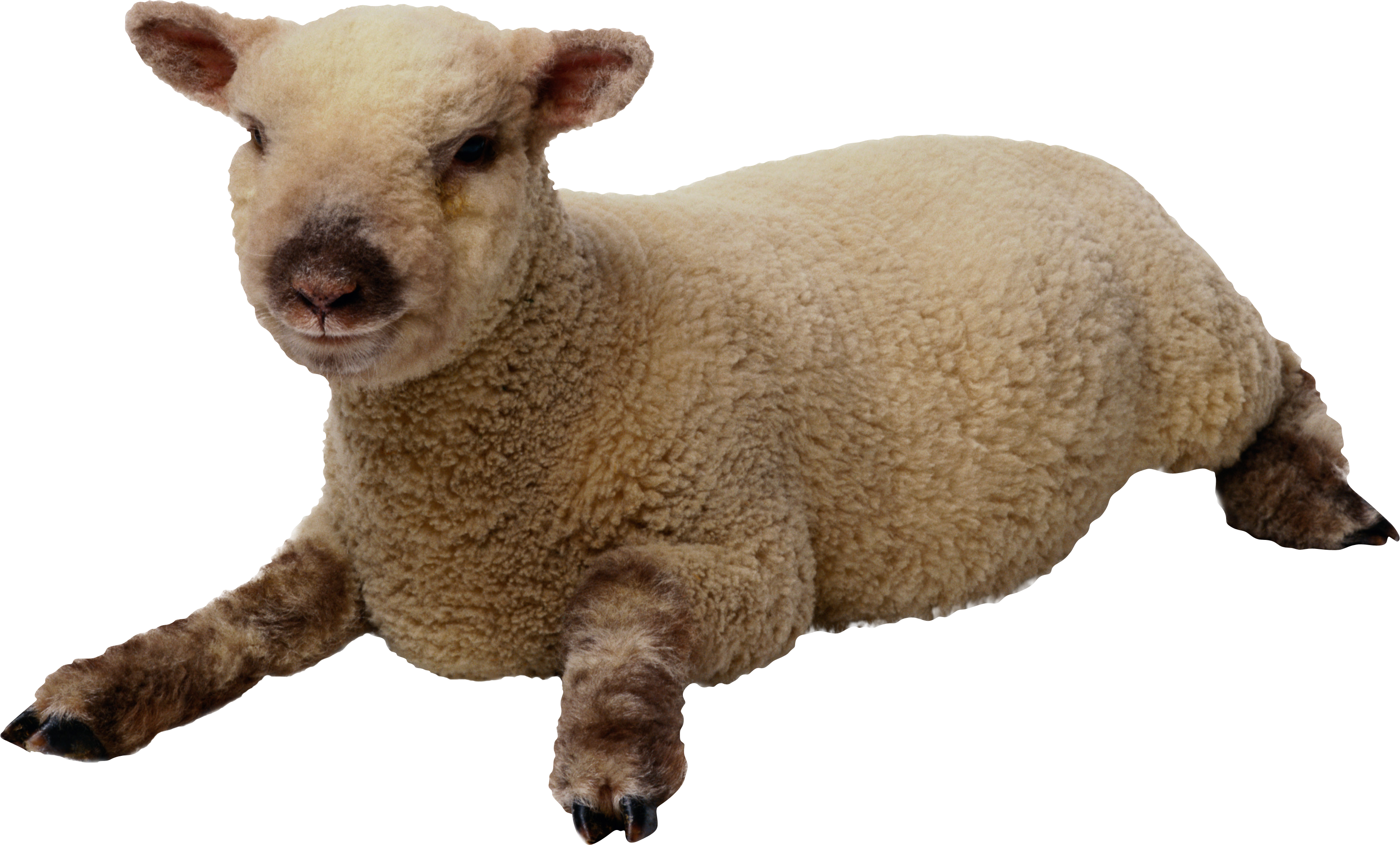 Images Best Free Clipart Sheep #23160 - Free Icons and PNG ...