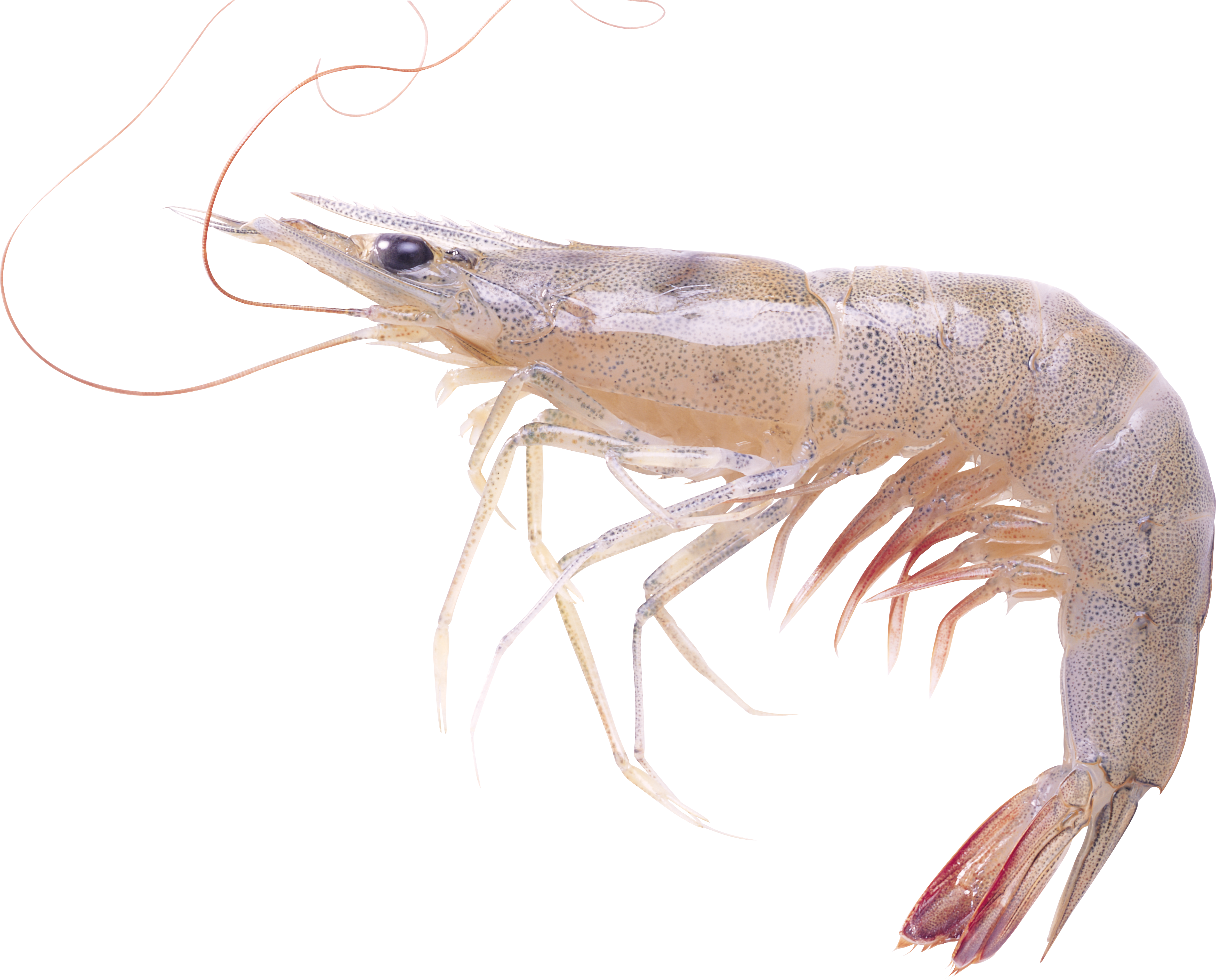 Shrimps Clipart Free Pictures