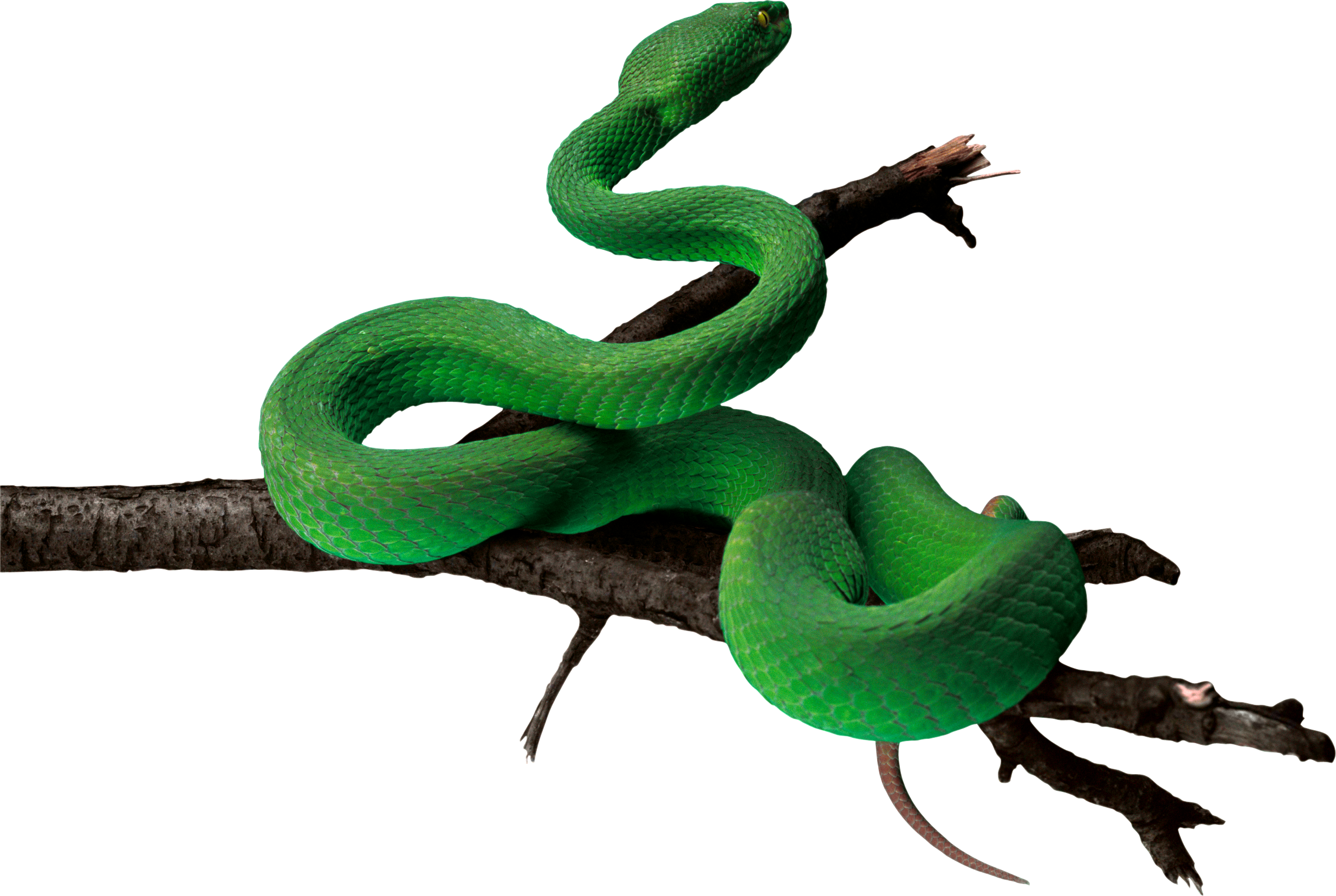 Simple Branch Green Anaconda Pictures image #48153