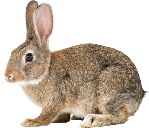 Single Rabbit Png image #40316