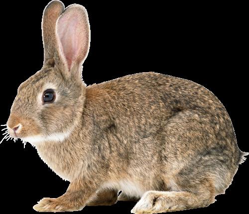 Single Rabbit Png image #40316