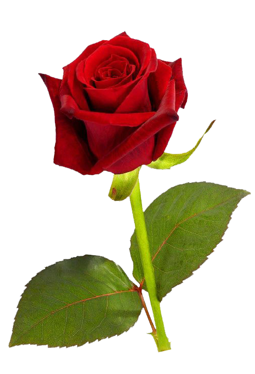 Single Roses Png image #39878