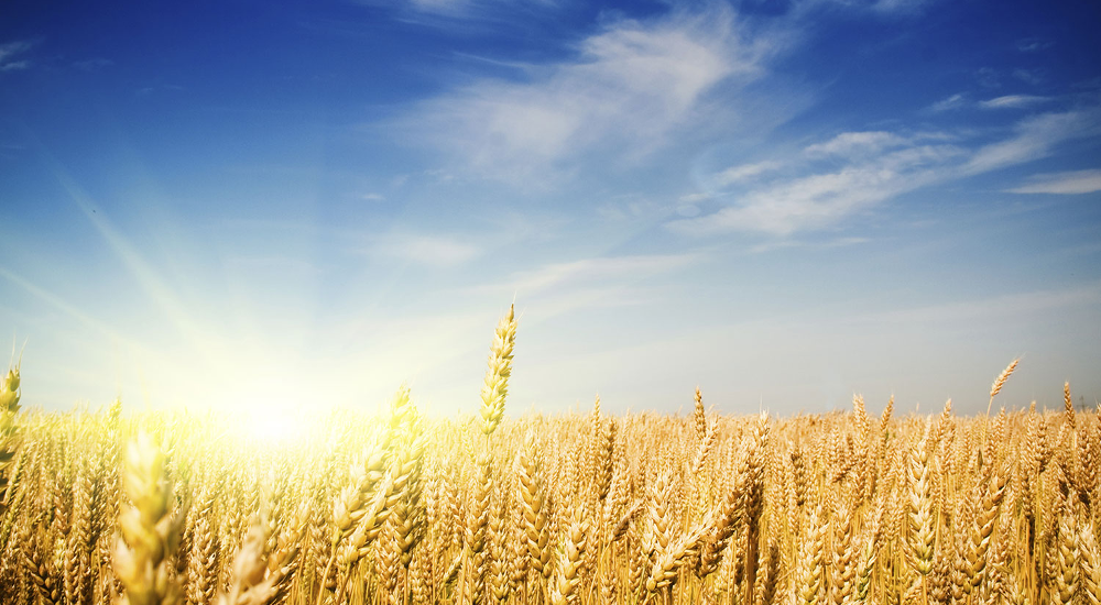 Sky and Sun Wheat Background