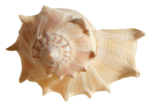 Snail-shaped Conch Open Tone Picture image #48540