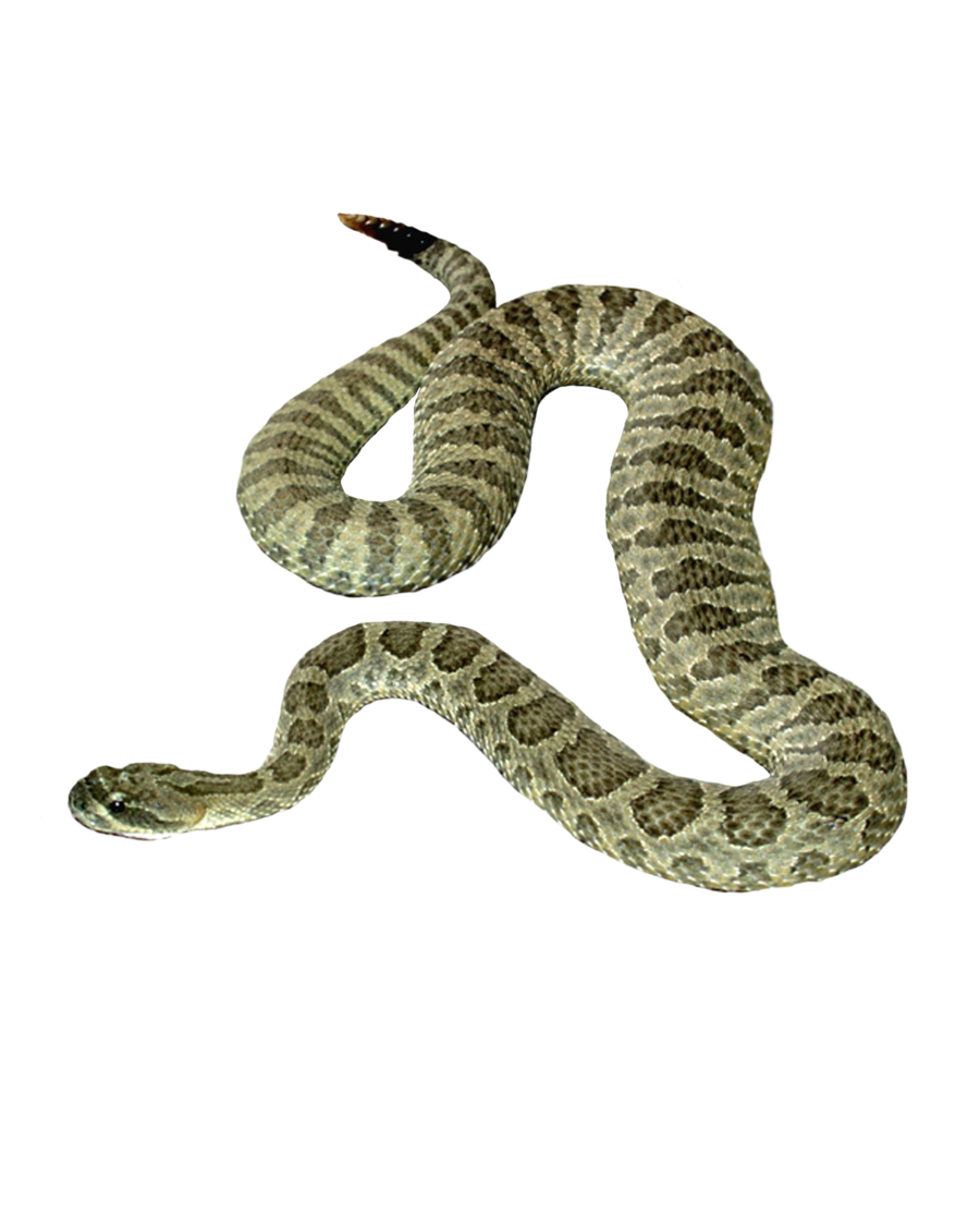 Best Free Snake Png Image