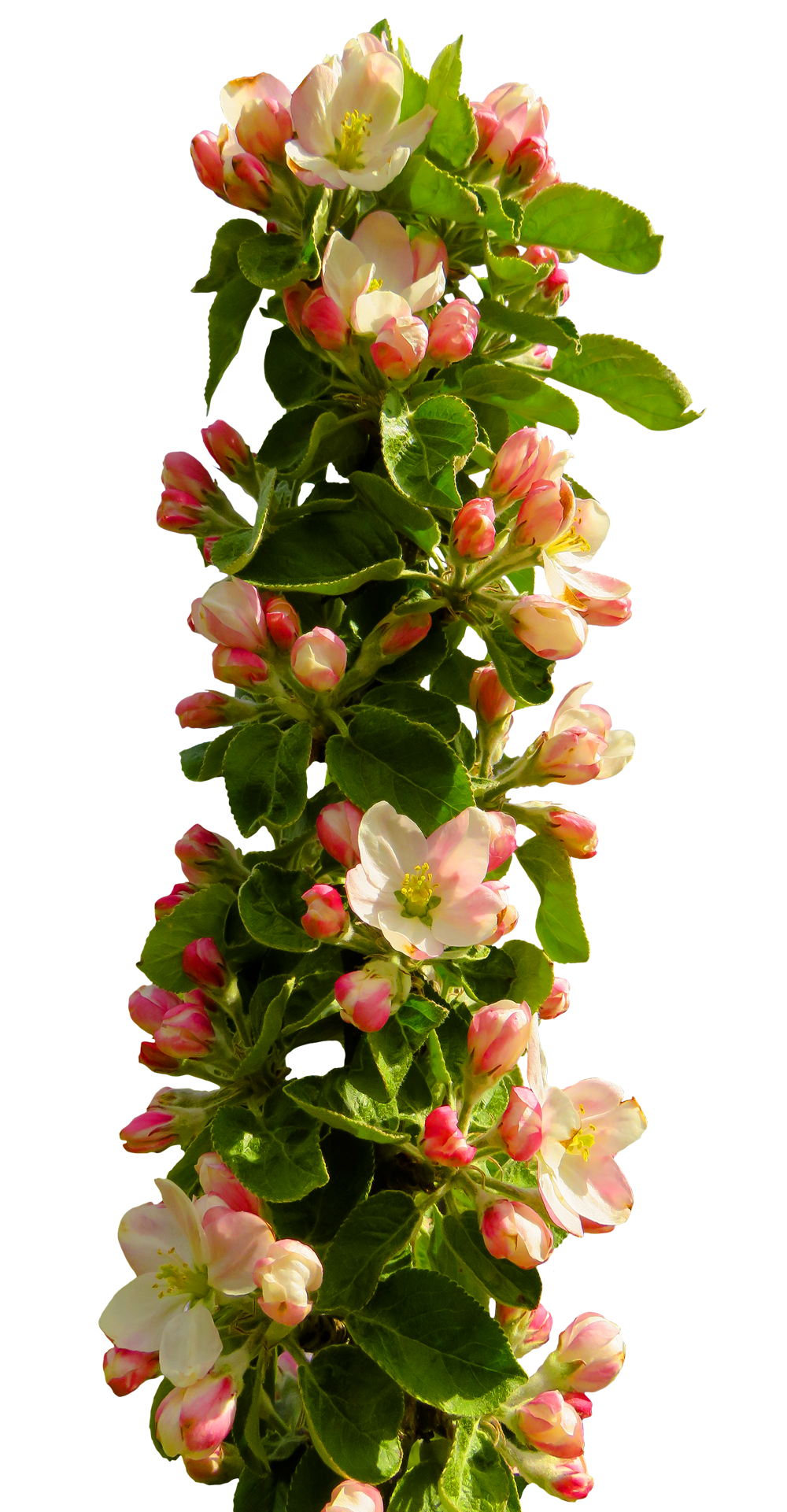 Spring Flower PNG Transparent image #43164