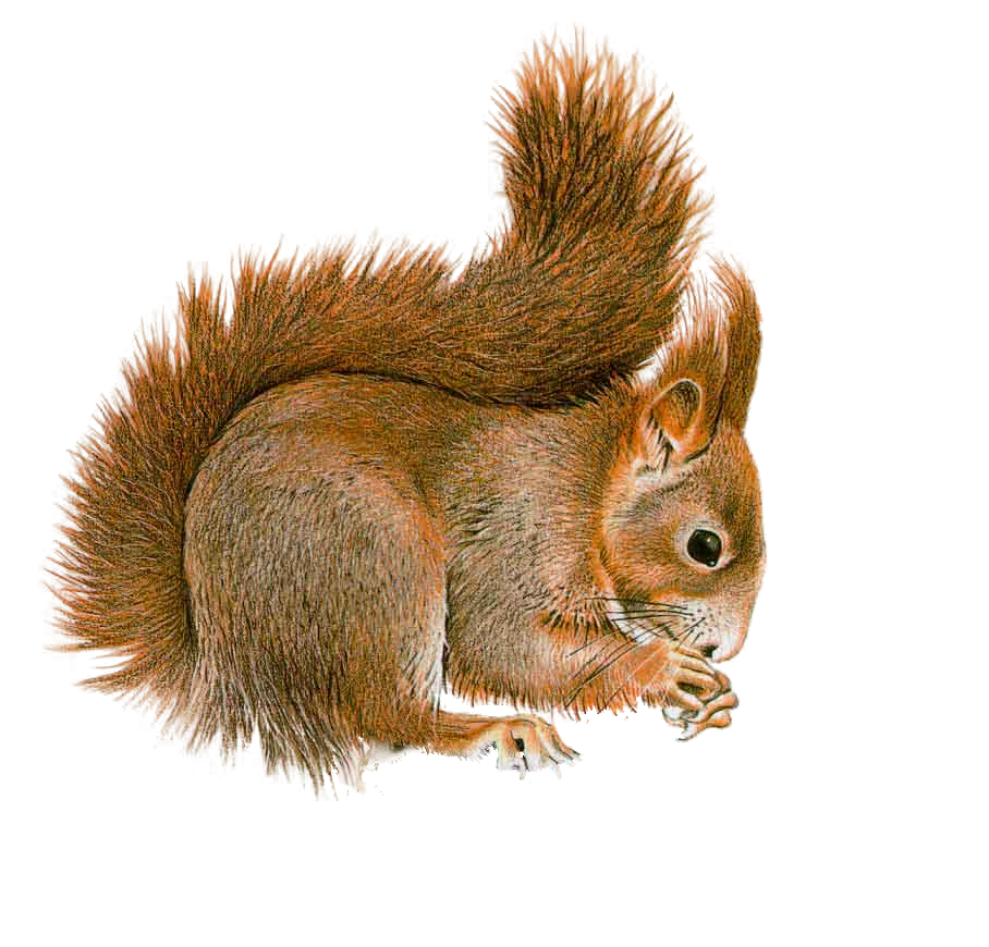 Best Free Squirrel Png Image image #20470