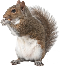 Use These Squirrel Vector Clipart image #20480