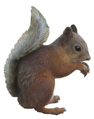 Pic PNG Squirrel