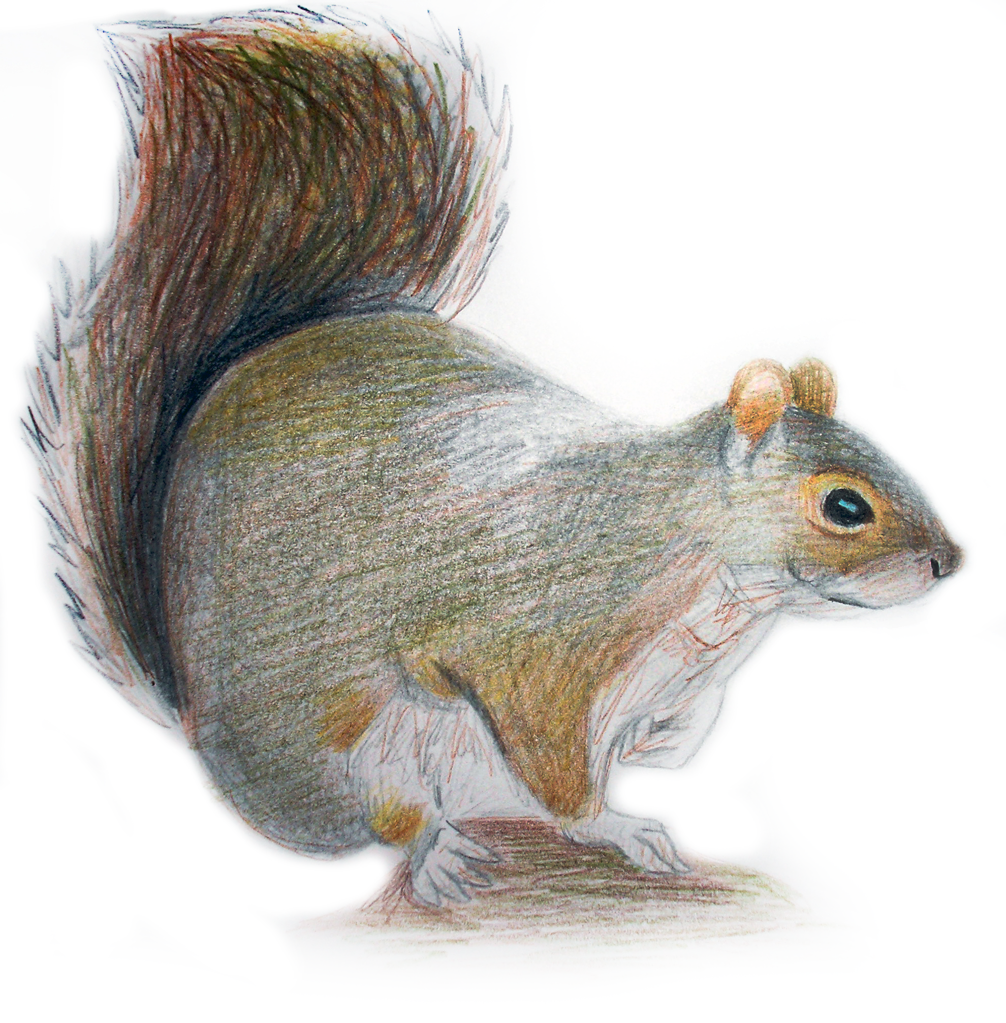 Squirrel PNG HD image #20488