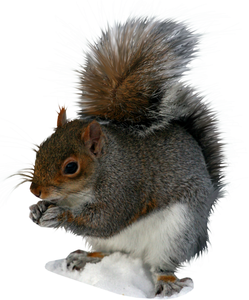 Squirrel File PNG image #20471