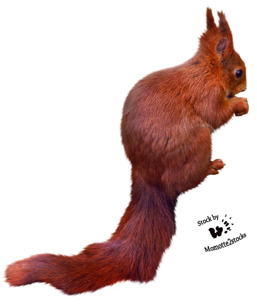 Squirrel Png Free Images Download image #20497