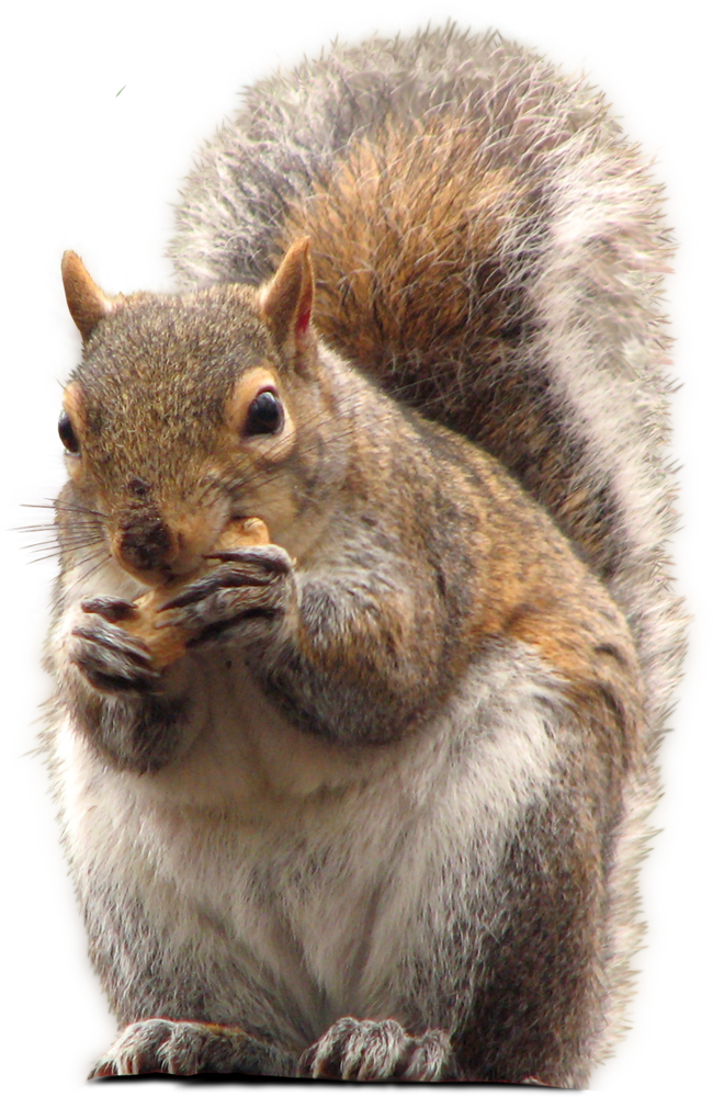 PNG Picture Squirrel image #20474