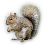 HD PNG Squirrel image #20478