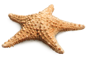 PNG Starfish Transparent Image image #19860