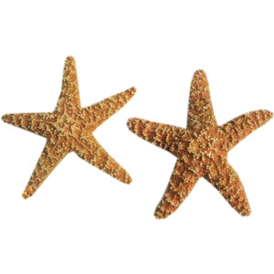 Png Starfish Best Clipart image #19862