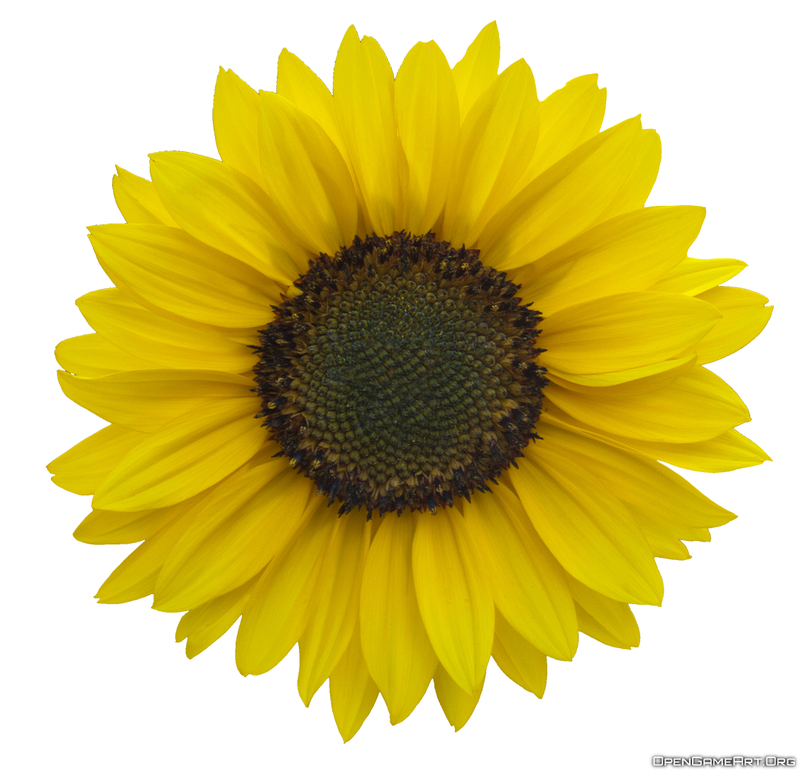 Download Sunflower Images Free