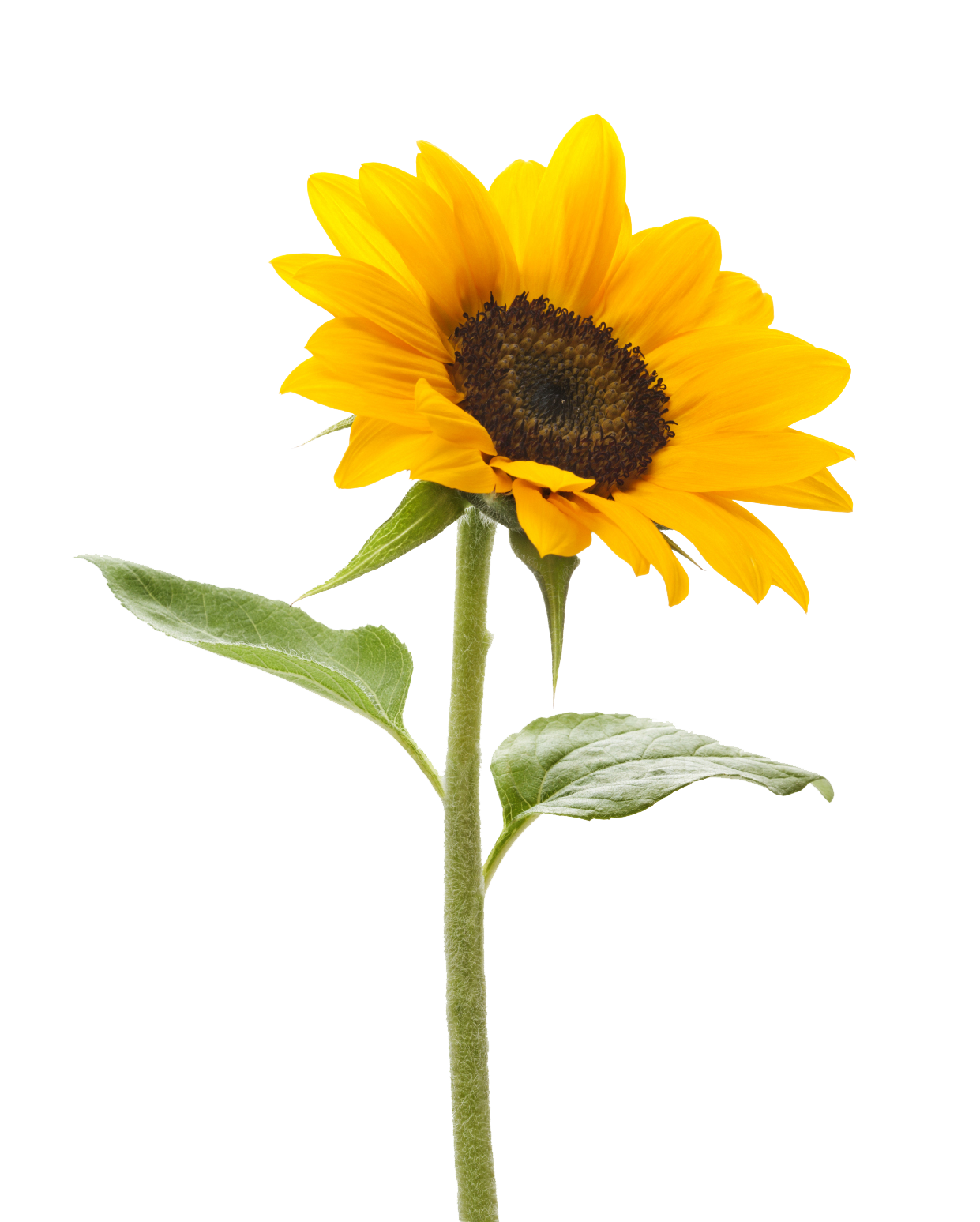 single sunflower png   free icons and png backgrounds, Beautiful flower