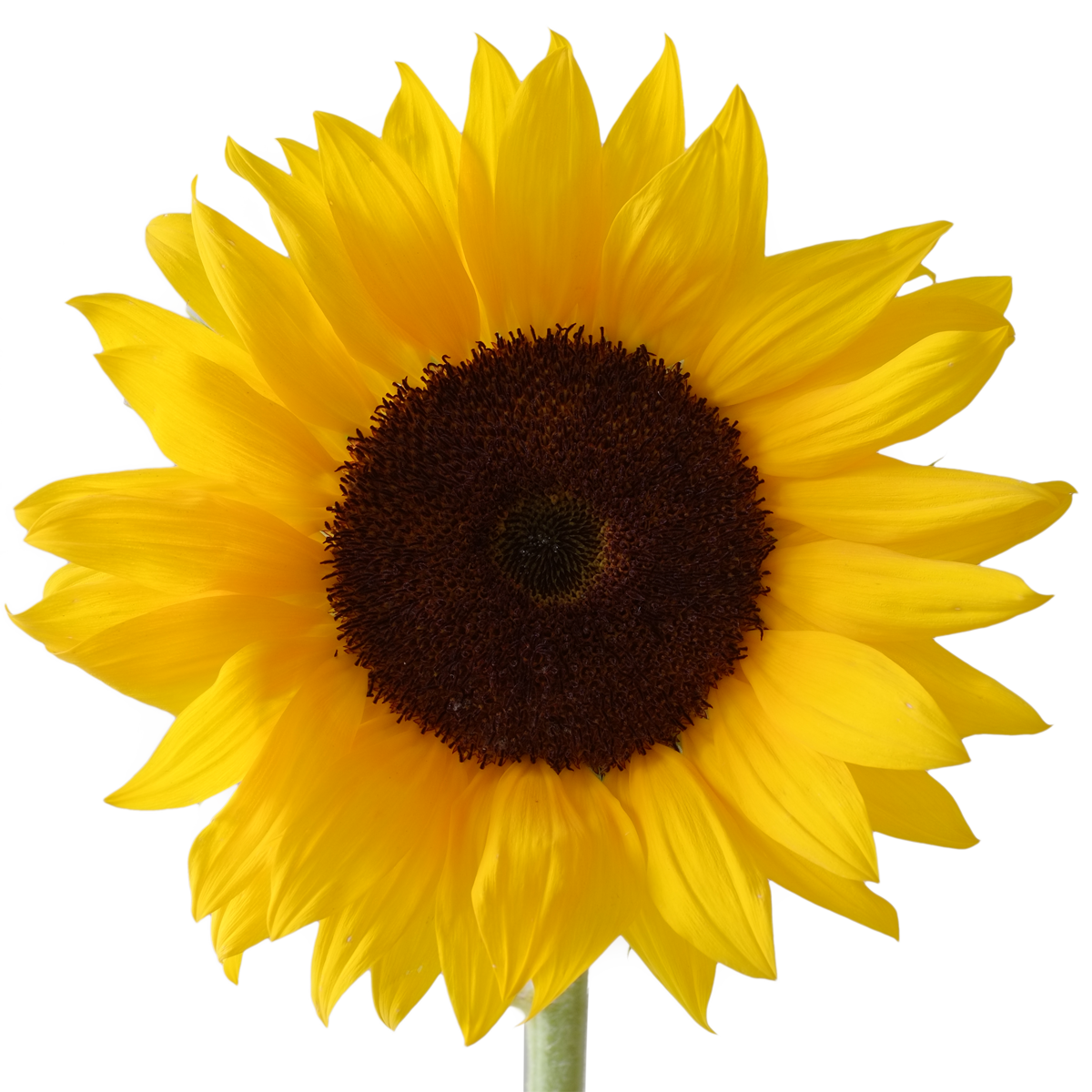 Sunflower Png Images Transparent Background: Icon Free Download Sunflower Vectors #28721