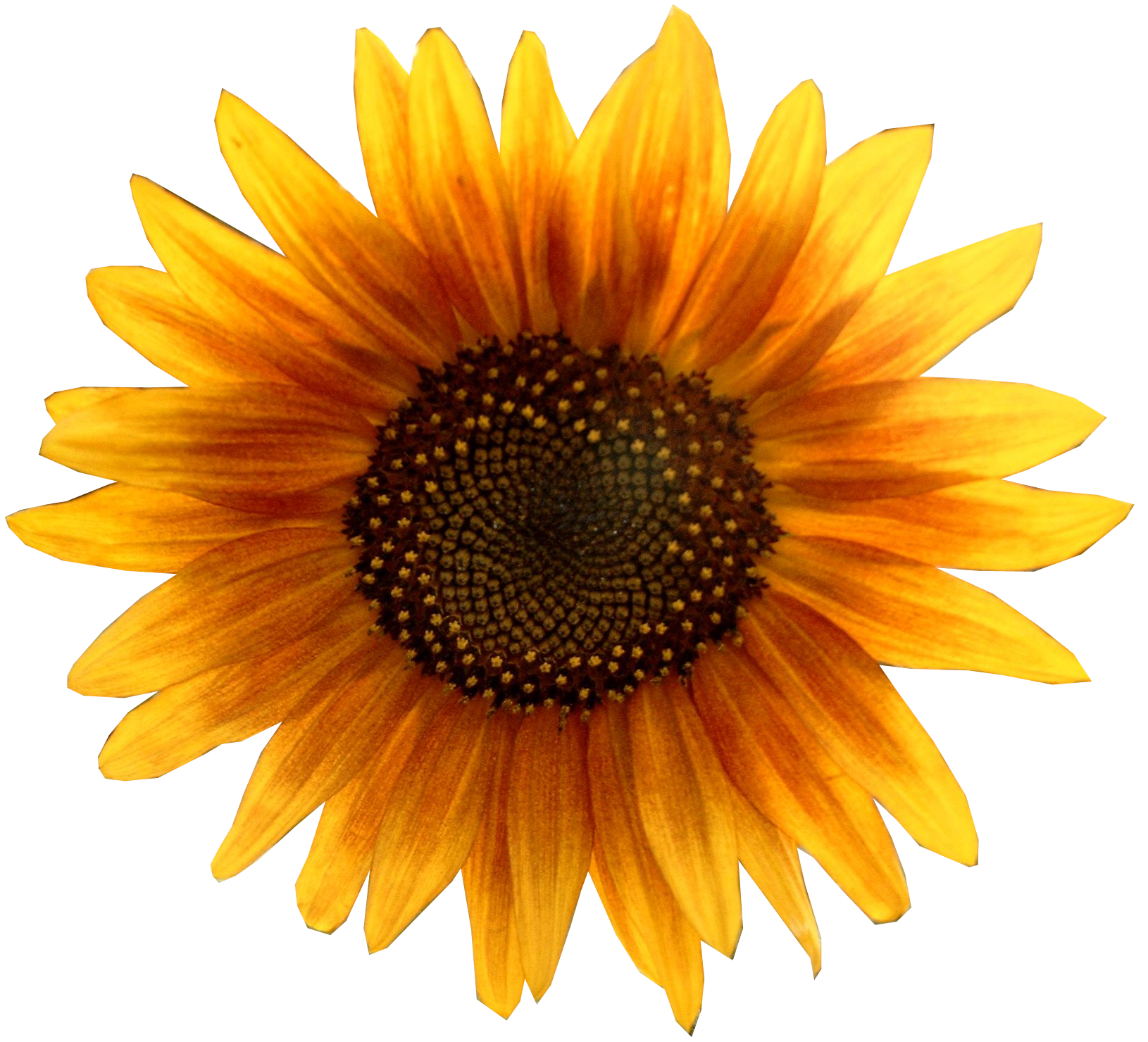 Images Download Free Sunflower