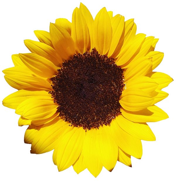 Free Download Of Sunflower Icon Clipart