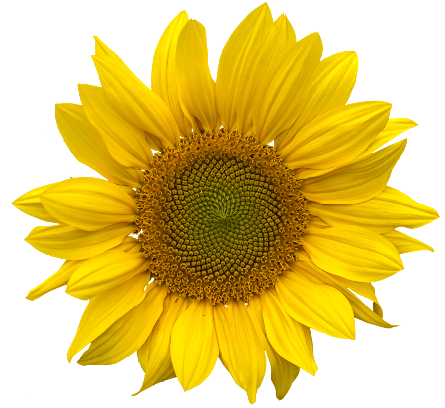 Sunflower Transparent PNG Pictures