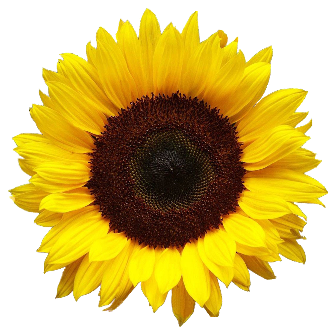 Hd Png Background Transparent Sunflower #28732