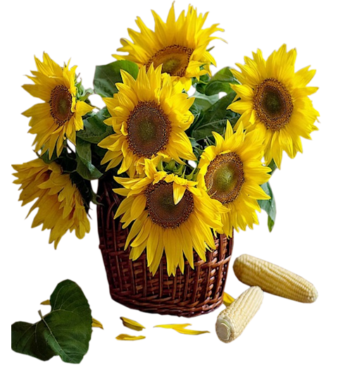 Sunflower Png Available In Different Size
