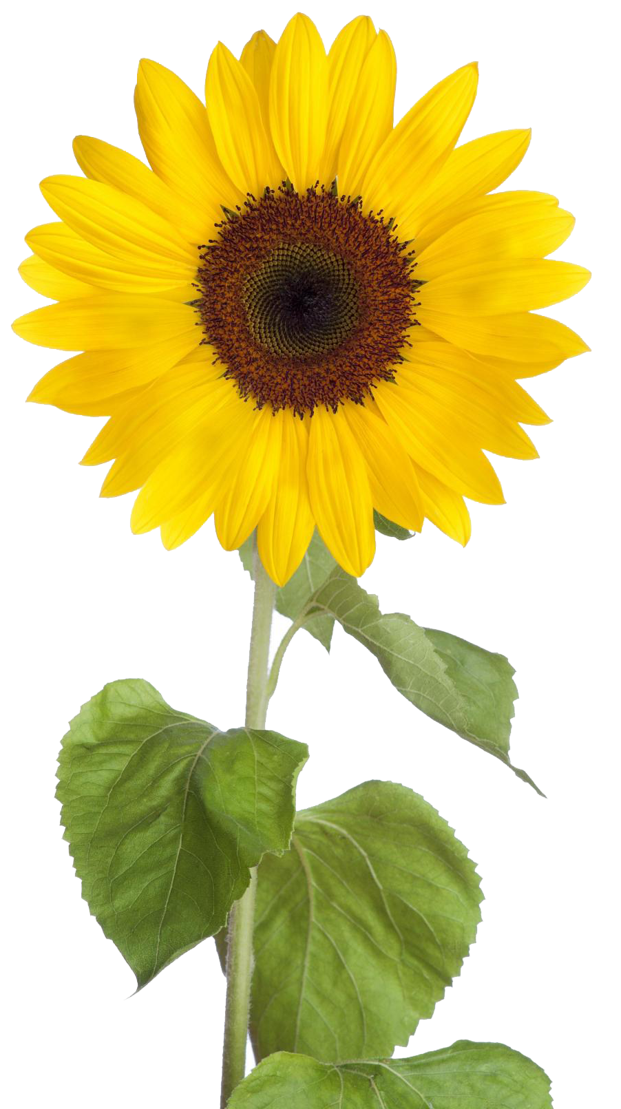 Free Download Sunflower Png Images
