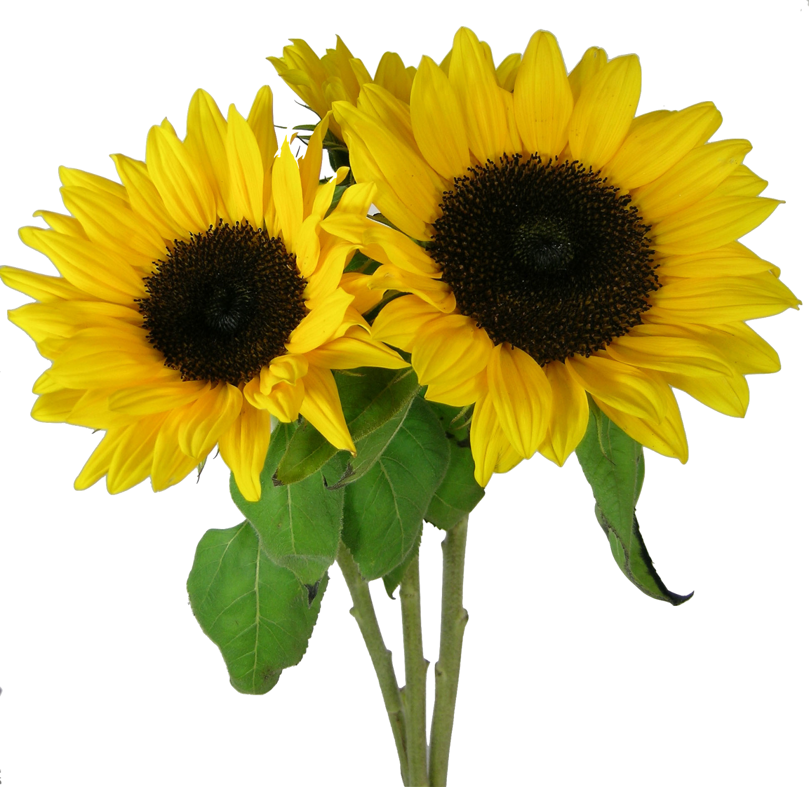 Picture PNG Sunflower