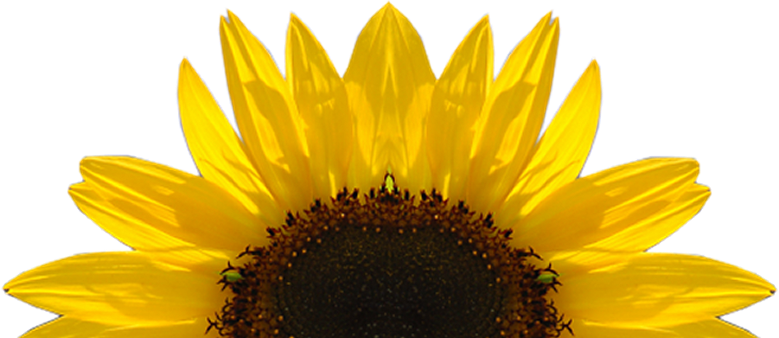 Download Free High quality Sunflower Png Transparent Images