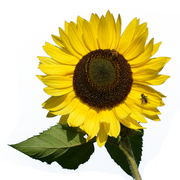 Download And Use Sunflower Png Clipart