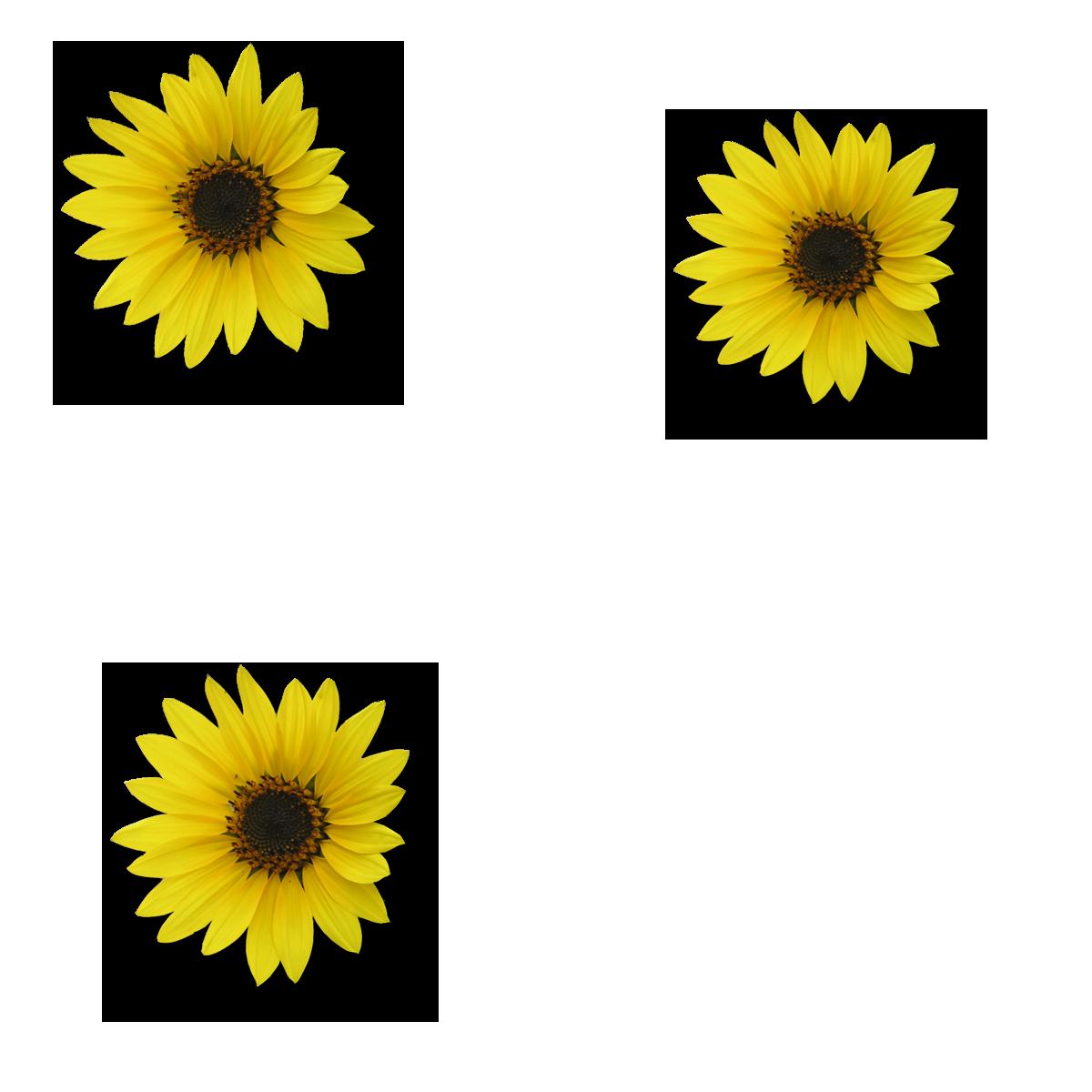 Sunflower Png Images Transparent Background: Sunflower Transparent PNG Pictures