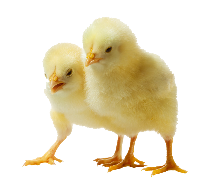 Sweet Baby Chicken Png image #40289