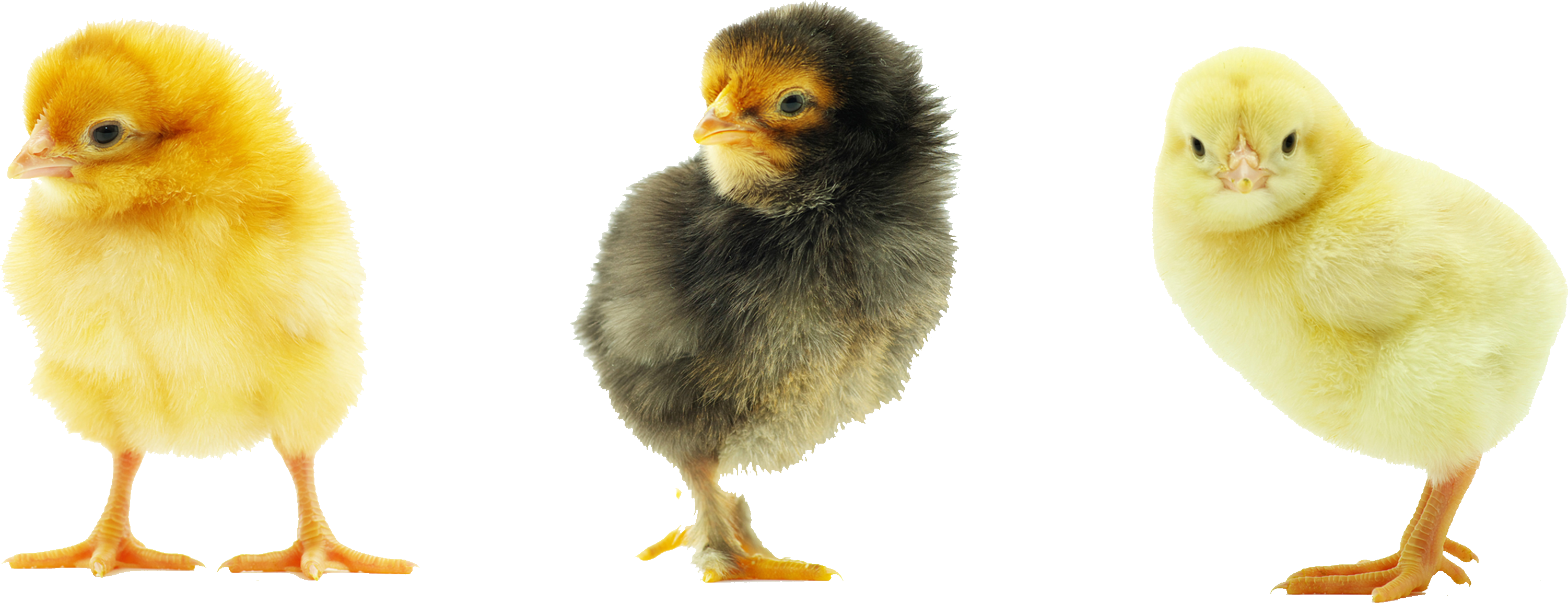Sweet Chickens Png image #40298