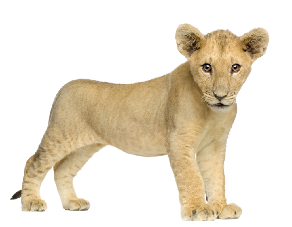 Sweet Cute Little Baby Lion Png image #42291