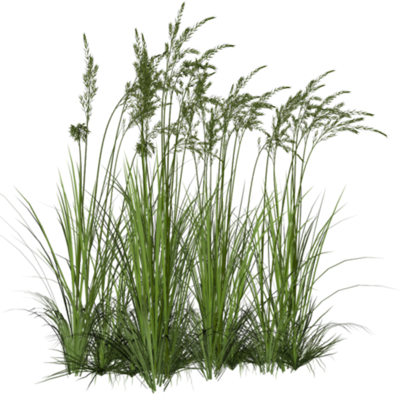 Tall Grass Png Hd