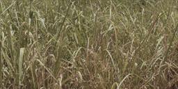 tall grass texture. Tall Grass Texture Png Image #44172 D