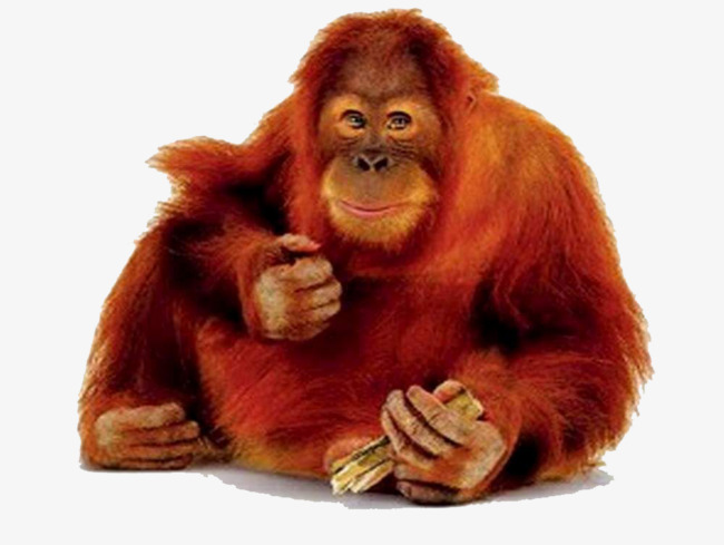 The Red Side Facing Orangutan Pictures Image image #48082